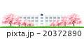 桜 学校 桜並木のイラスト 20372890