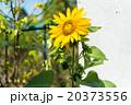 向日葵 20373556