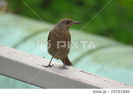 野鳥「イソヒヨドリ」メス:天の川河川敷。大阪府枚方市 20393896