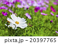 白色波斯菊 20397765