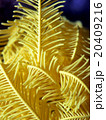 黄色の鮮やかなウミシダ 20409216