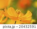 波斯菊 20432591