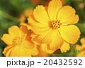 波斯菊 20432592