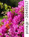 リゾート地のブーゲンビリア ハワイ 20440317