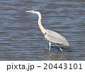 青鷺 鷺 蒼鷺の写真 20443101