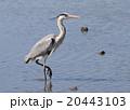 青鷺 鷺 蒼鷺の写真 20443103