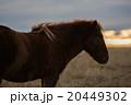 Icelandioc horse in the wild sunset 20449302