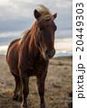 Icelandioc horse in the wild sunset 20449303