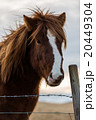 Icelandioc horse in the wild sunset 20449304