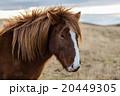 Icelandioc horse in the wild sunset 20449305