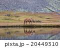 Icelandic horse grazing wild Iceland 20449310