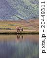 Icelandic horse grazing wild Iceland 20449311