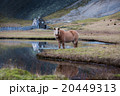 Icelandic horse grazing wild Iceland 20449313