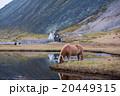 Icelandic horse grazing wild Iceland 20449315