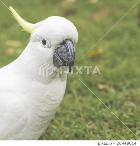 Sulphur-crested Cockatoo (Cacatua galerita)の写真素材 [20449614] - PIXTA