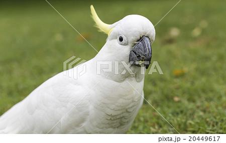 Sulphur-crested Cockatoo (Cacatua galerita)の写真素材 [20449617] - PIXTA