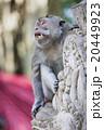 Monkey,Sacred Monkey Forest, Ubud, Bali, Indonesia 20449923