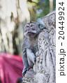 動物 さる サルの写真 20449924