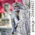 動物 さる サルの写真 20449927