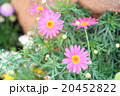 植物 花 ガーベラの写真 20452822