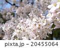 染井吉野 20455064