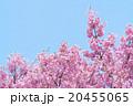 河津桜 20455065
