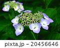 うす紫色の紫陽花 20456646