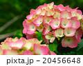 ピンク色の紫陽花 20456648