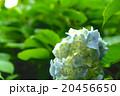 空色の紫陽花 20456650