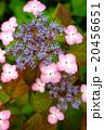 紫陽花 20456651