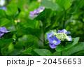 紫陽花の葉と花 20456653