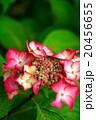 赤い紫陽花 20456655