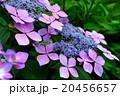 紫色の紫陽花 20456657