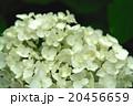 白い紫陽花 20456659