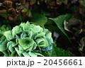 ふしぎな色の紫陽花_01 20456661
