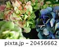 ふしぎな色の紫陽花_02 20456662