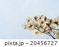 辛夷の花 20456727