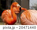 フラミンゴ 20471440