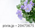ビオラ(カルカラータⅡ) 20473675