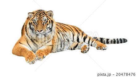 Siberian tiger (Panthera tigris altaica) cutoutの写真素材 [20478476] - PIXTA
