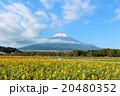 富士山と満開の向日葵 20480352