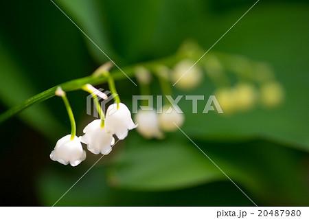 スズランは女性から男性に贈る『愛の告白』小春日和、小さな鈴が下を向くように咲く純白すずらん 20487980