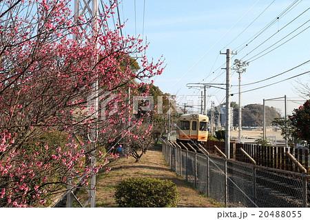 梅津寺公園の紅梅と電車 20488055