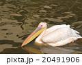ペリカン 鳥 水鳥の写真 20491906