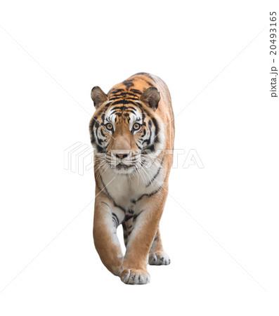 bengal tiger isolatedの写真素材 [20493165] - PIXTA