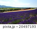 富良野 ラベンダー 花畑の写真 20497193