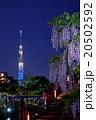 東京スカイツリーと藤の花 20502592