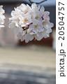 桜 20504757