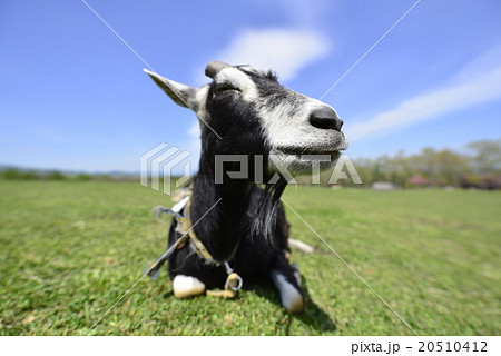 蔵王ハートランドに放牧されている可愛いのんびりした山羊やぎ春の日差しに眠そうな顔20510412