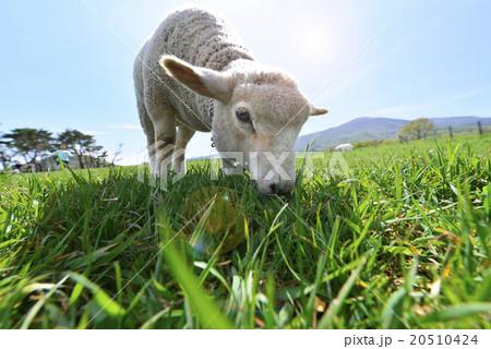 蔵王ハートランドに放牧されお母さんと一緒に春のポカポカ陽気の逆光の中のびのびと無邪気に牧草を食べる可愛い子羊フレア20510424